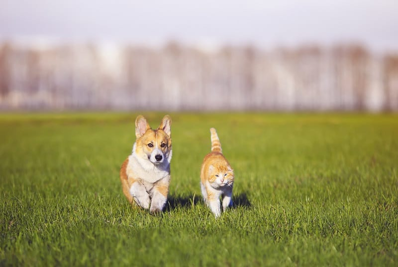 Corgis and Cats – Do They Mix?