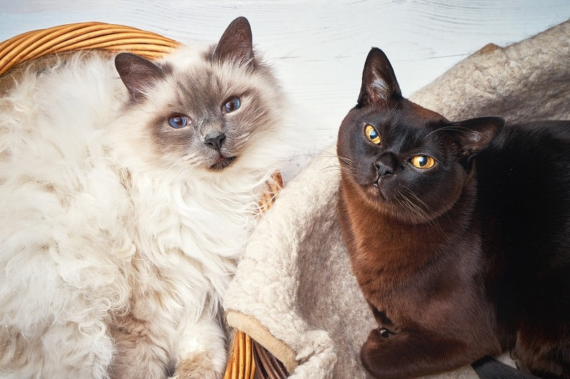 Having Two Cats Pros and Cons