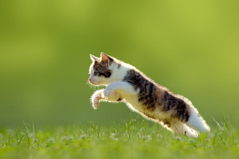 How Far Can A Cat Jump?