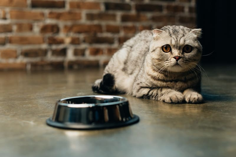 How to Get an Anemic Cat to Eat?
