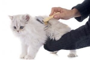 How to Groom a Persian Cat?