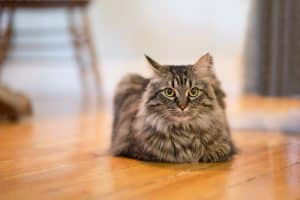 Maine Coon Chirp