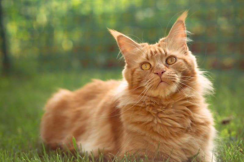 Short Hair Maine Coon