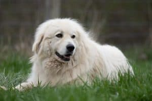 Are Great Pyrenees Good With Cats