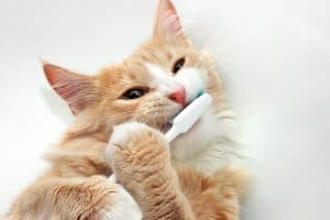 Cat Teeth Cleaning Risks
