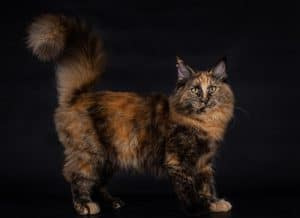 Do Calico Cats Shed