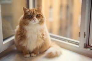 How Long Do Fat Cats Live