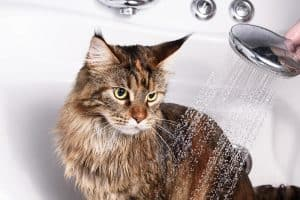 How Often Can You Bathe A Cat With Fleas?