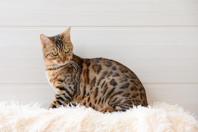 How to Train a Bengal Cat?