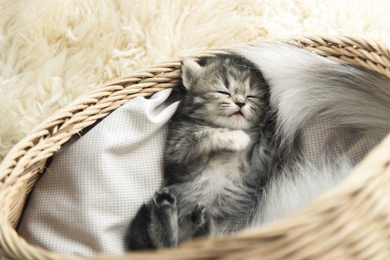 Kitten Sleep Schedule