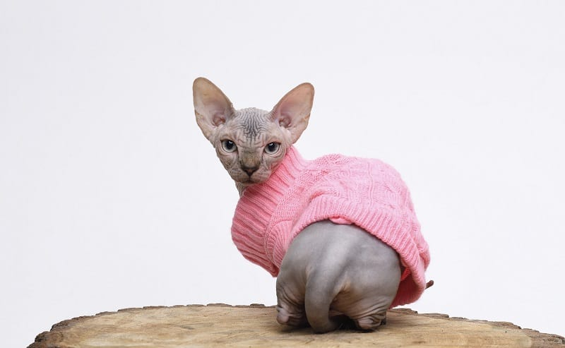 Teacup Cat Price