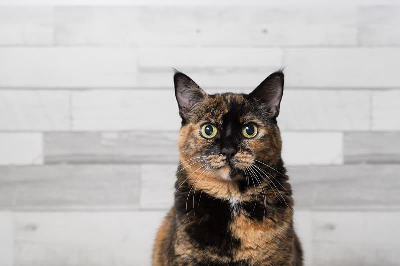 Tortoiseshell Cat Price