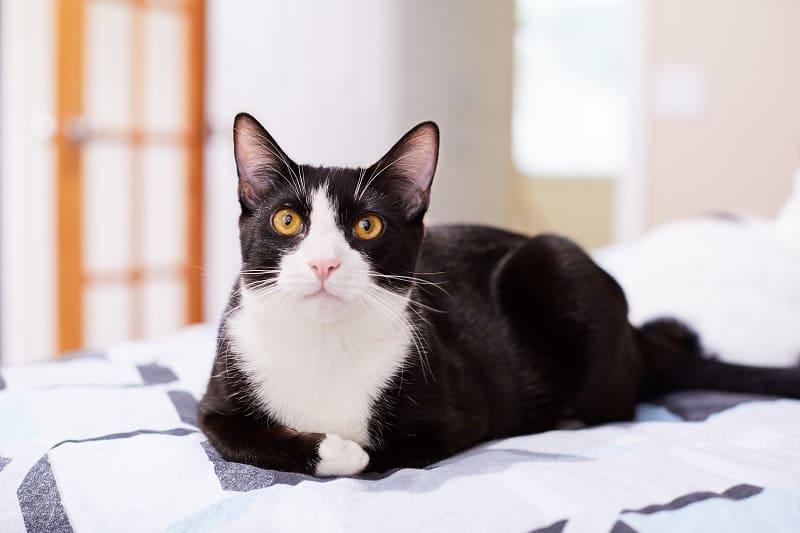 Tuxedo Cat Personality