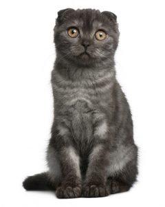 Are Black Tabby Cats Rare?