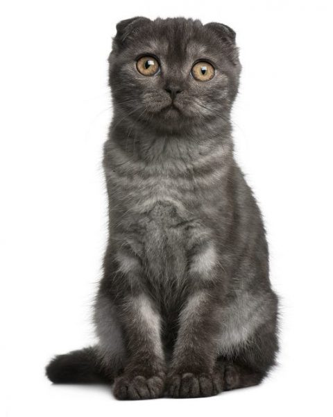 Are Black Tabby Cats Rare?