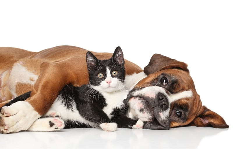 Are Boxers Good With Cats?