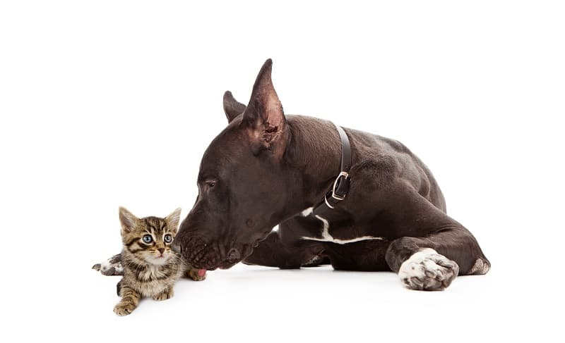 Are Great Danes Good With Cats?