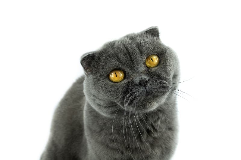 Are Scottish Fold Cat Hypoallergenic