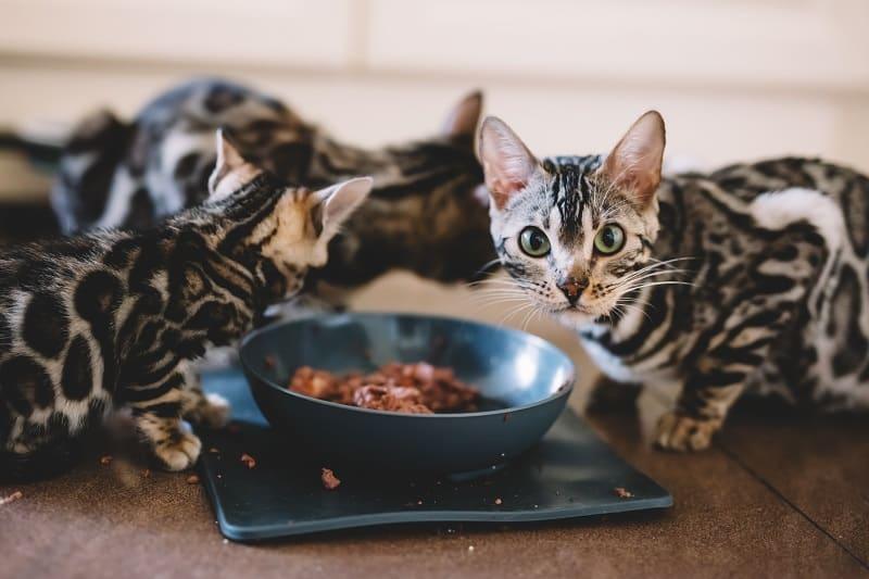 Bengal Cat Diet