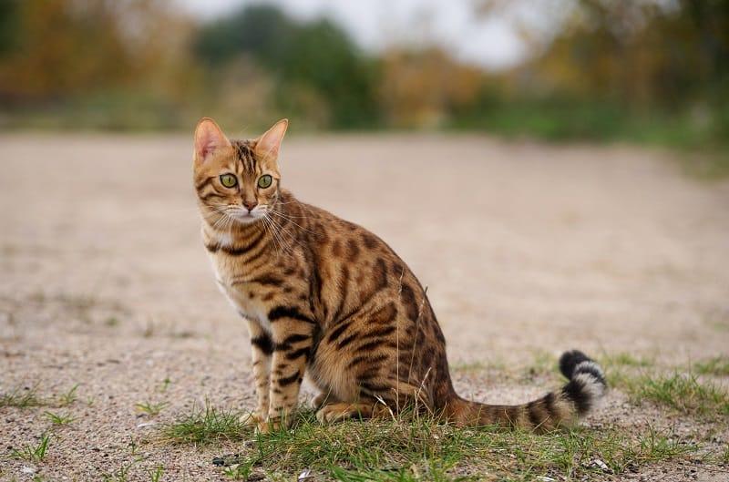 Bengal Cat Lifespan