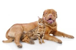 Bengal Cats and Dogs