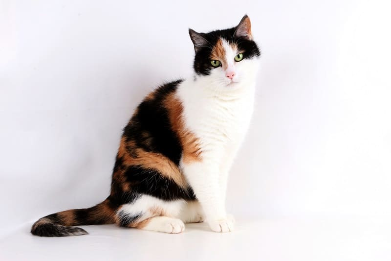 Calico Cat Price
