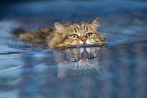 Can Cats Swim