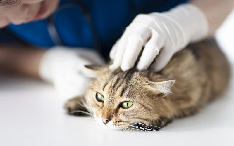 Cat Bald Spots on Head