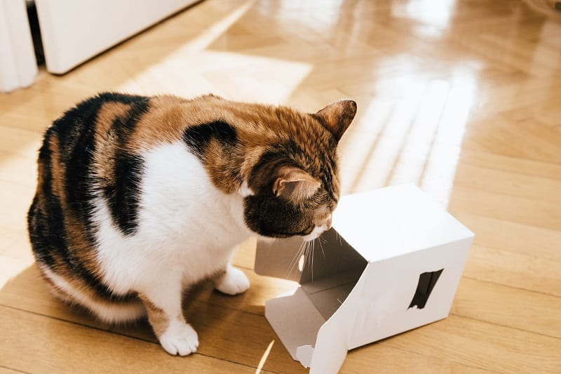 Cat Chewing Cardboard
