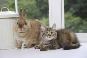 Do Cats Attack Rabbits