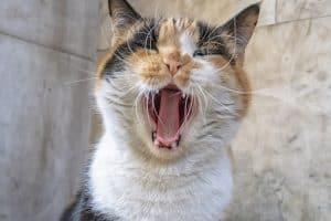 Feline Stomatitis Coconut Oil