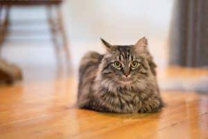 Neutered Male Cat Behavior