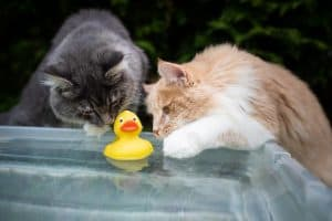 Why Do Cats Put Toys In Water