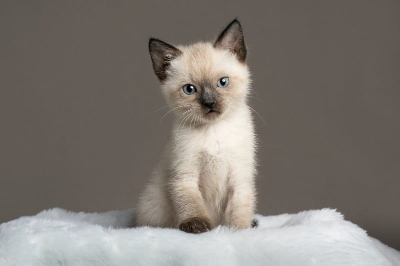 Are Siamese Cats Hypoallergenic?