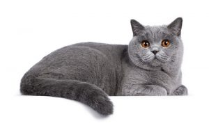 Why Do Cats Cross Their Paws?