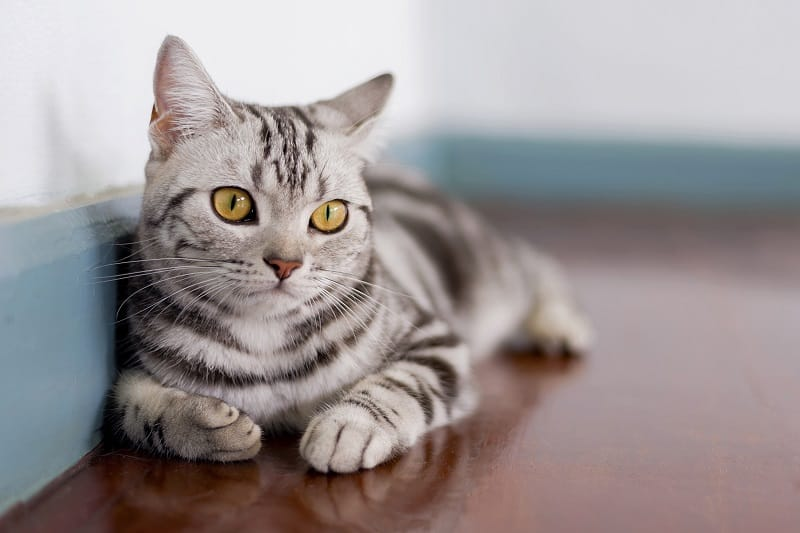 Are American Shorthair Cats Hypoallergenic