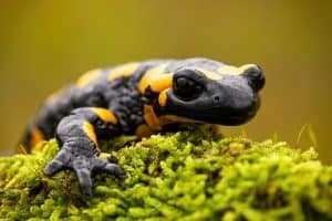 Are Salamanders Poisonous to Cats?