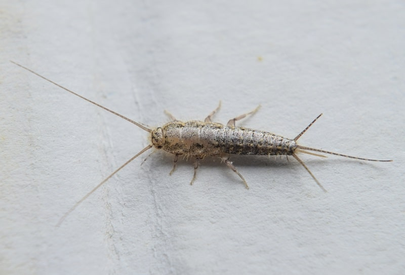 Are Silverfish Harmful to Cats?
