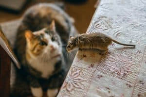 Can Mice Sense A Cat In The House?
