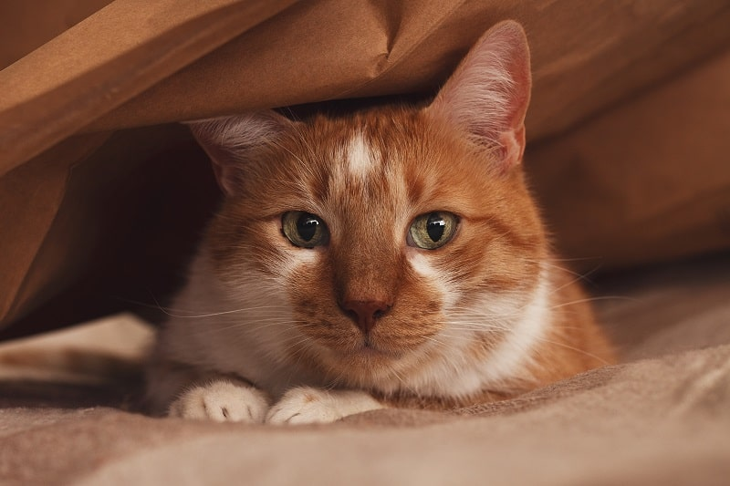 Do Cats Hide When They Are Dying?