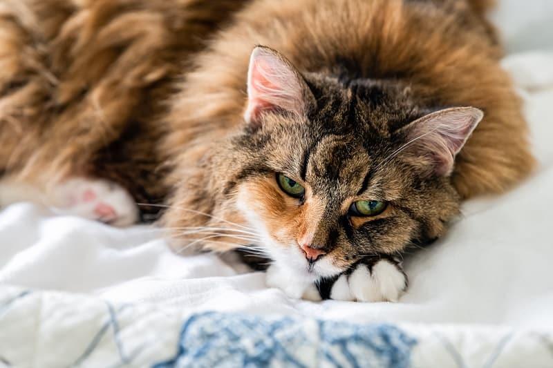 How Long After Flea Treatment Can I Pet My Cat?