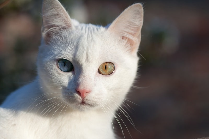 Russian White Cat Personality