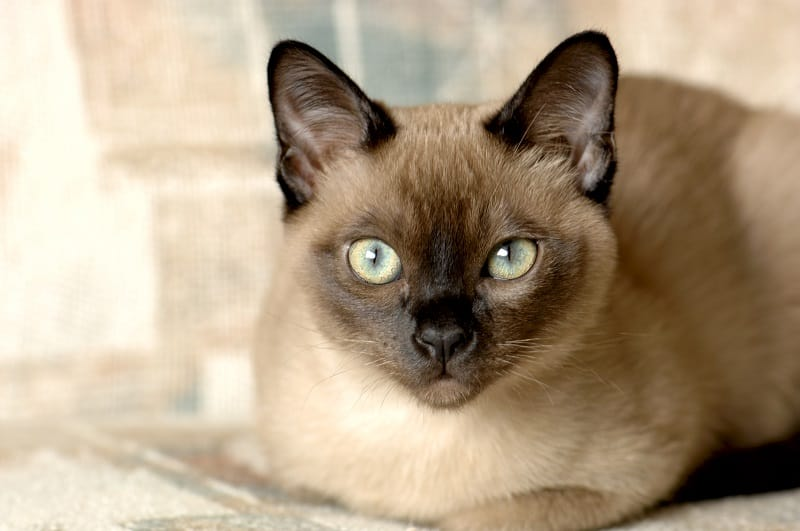 Tonkinese trill