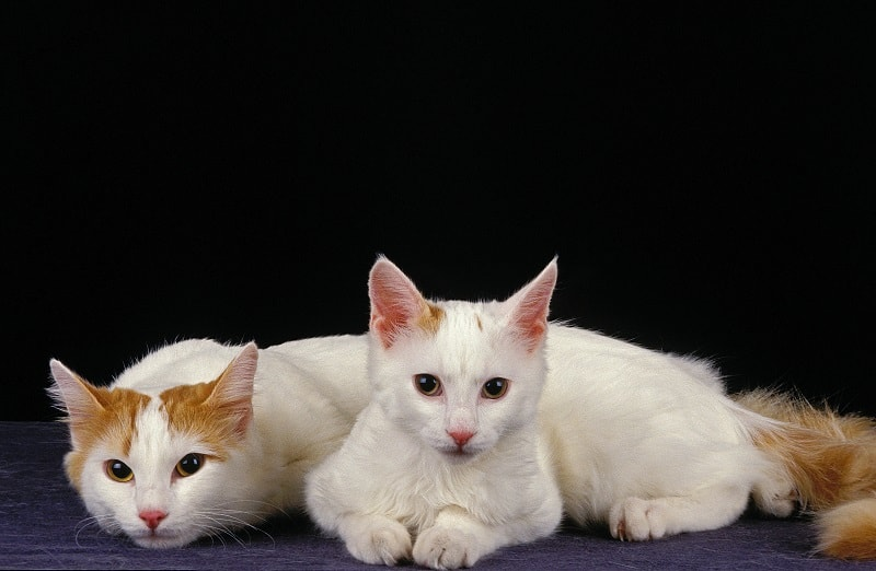 Turkish Van Trill