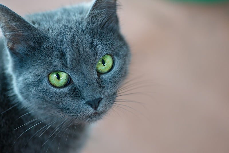 Why Do Cats Have 2 Eyelids?