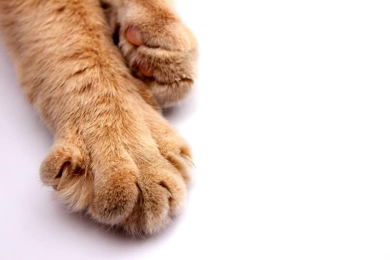 Cats horned paw