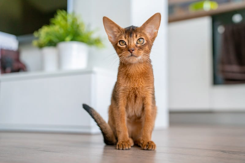 Are Abyssinian Cats Hypoallergenic