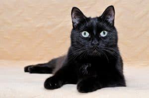 Are Bombay Cats Hypoalleragenic