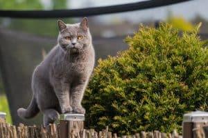 Are British Shorthair Cats Hypoallergenic?