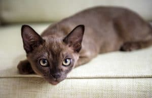 Are Burmese Cats Hypoallergenic?